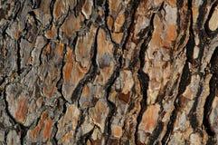 De schors van de pijnboom Royalty-vrije Stock Foto