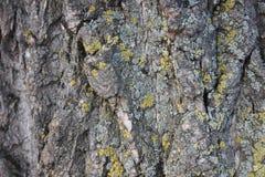 De schors van een machtige boom Textuur stock fotografie