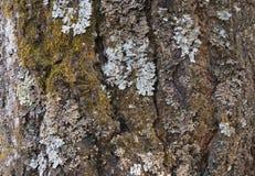 De schors van een oude boom die met een mos en korstmossen als structuur wordt behandeld royalty-vrije stock foto