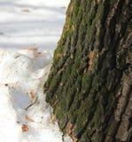 De schors van een oude eiken die boom met groen mos wordt behandeld royalty-vrije stock fotografie