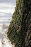 De schors van een oude eiken die boom met groen mos wordt behandeld stock afbeelding