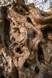 De schors van de olijfboom Olijfboomtextuur royalty-vrije stock afbeelding