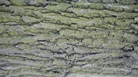 De schors van de oude acacia stock fotografie