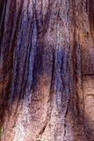 De schors van de sequoiaboom Royalty-vrije Stock Foto