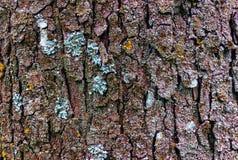 De schorsachtergrond van de close-upboom Stock Foto's
