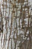 De schorstextuur van de boom cork Stock Foto's