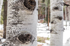 De schorstextuur van de espboom stock afbeeldingen
