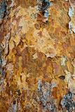 De schorstextuur van de pijnboom. Royalty-vrije Stock Afbeelding