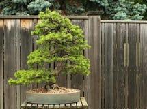 De Schotse Bonsai van de Pijnboom Stock Foto's