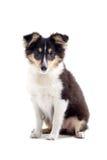 De Schotse hond van het colliepuppy royalty-vrije stock afbeeldingen