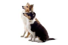 De Schotse hond van het colliepuppy stock afbeelding