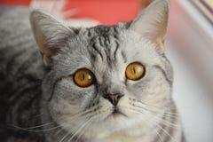 De Schotse kat ligt op de vensterbank royalty-vrije stock afbeelding