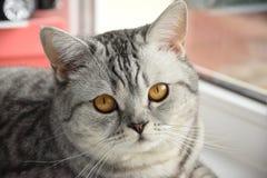 De Schotse kat ligt op de vensterbank stock fotografie