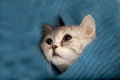 De Schotse kat van Vouwen Royalty-vrije Stock Fotografie