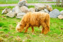 De Schotse koe eet gras bij zoogreen park Karelië Stock Foto's
