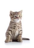 De Schotse rechte kleine die zitting van het kattenkatje op witte achtergrond wordt geïsoleerd Royalty-vrije Stock Foto's