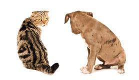 De Schotse van het Vouwenkat en puppy zitting die van de kuilstier elkaar bekijken stock foto
