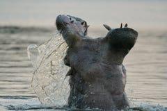 De schreeuw van Hippo Stock Afbeeldingen