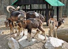 De schuilplaats van de geit Stock Afbeelding