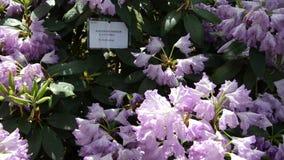De schuine stand neer van de purpere bloei van de rododendronbloem glanst in zonlicht stock video