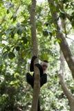 De schuwe aap van de camera Stock Afbeelding