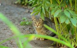 De schuwe jonge kat, bekijkt de camera Stock Afbeeldingen