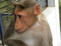 De schuwe zitting van de Bonnet macaque aap royalty-vrije stock afbeelding