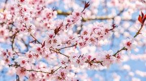 De seizoengebonden lente bloeit bomenachtergrond stock afbeeldingen