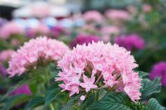 De selectieve nadruk Ixora is een soort van bloeiende installaties in de tuin Stock Afbeelding