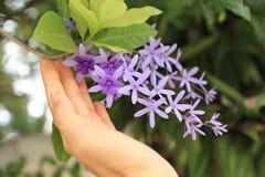 De selectieve nadruk op vrouwenhand die raakt de purpere bloemen van de schuurpapierwijnstok bundelt royalty-vrije stock fotografie