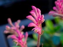 De Selectieve nadruk van Roze Kangoeroe Paw Flowers behoort tot de soort Anigozanthos in een lentetijd bij een botanische tuin royalty-vrije stock afbeelding