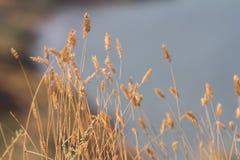 De selectieve zachte nadruk van droog gras, riet, besluipt het blazen in de wind royalty-vrije stock afbeeldingen