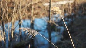 De selectieve zachte nadruk van droog gras, riet, besluipt, in de wind door de lichte, horizontale, vage achtergrond stock footage