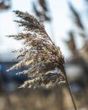 De selectieve zachte nadruk van droog gras, riet, besluipt, in de wind door de lichte, horizontale, vage achtergrond Aard, de len royalty-vrije stock afbeelding