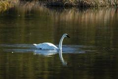 1 de septiembre de 2016 - cisne de la trompeta que flota en el lago en Alaska, al sur de Anchorage Fotos de archivo libres de regalías