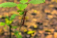 3 de septiembre de 2014 - insecto rojo del algodón en el parque nacional de Chitwan, Ne Fotos de archivo libres de regalías
