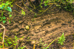 3 de septiembre de 2014 - marcas de Tiger Territorial en el nacional de Chitwan Imágenes de archivo libres de regalías