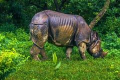 2 de septiembre de 2014 - rinoceronte indio en el parque nacional de Chitwan, Nepa Foto de archivo