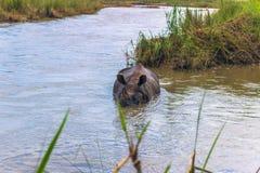3 de septiembre de 2014 - rinoceronte indio que se baña en el PA nacional de Chitwan Fotografía de archivo libre de regalías