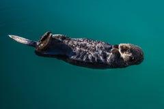 2 de septiembre de 2016 - una nutria de mar está flotando en su parte posterior, Seward alaska Imagenes de archivo
