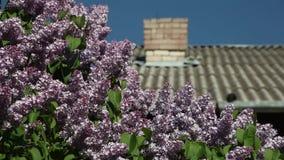 De sering bloeit op de achtergrond van een betegeld dak met een pijp op een zonnige dag stock video