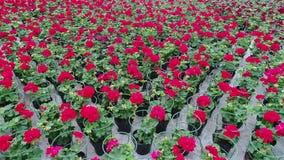 De serre met bloeiende geranium plats, rode bloemen in een serre, bloemen voor verkoop, cultuur van huis bloeit stock footage
