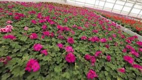 De serre met bloeiende geranium plats, rode bloemen in een serre, bloemen voor verkoop, cultuur van huis bloeit stock video
