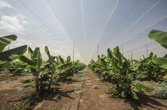 De serre van de banaanaanplanting Stock Afbeeldingen
