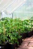 De serre van de tuin met tomatenplanten Royalty-vrije Stock Afbeeldingen