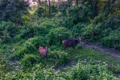 4 de setembro de 2014 - cervos no parque nacional de Chitwan, Nepal Fotos de Stock Royalty Free