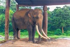 3 de setembro de 2014 - elefante acorrentado no parque nacional de Chitwan, Imagens de Stock