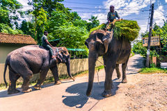 9 de setembro de 2014 - elefantes nas ruas de Sauraha, Nepal Imagem de Stock