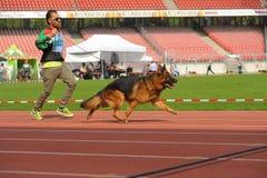 7 de setembro de 2014 a mostra de cão-pastor alemão a mais grande de Nurnberg no alemão Fotos de Stock