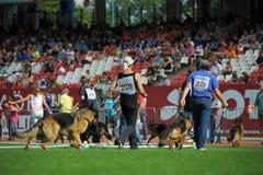 7 de setembro de 2014 a mostra de cão-pastor alemão a mais grande de Nurnberg no alemão Imagens de Stock Royalty Free